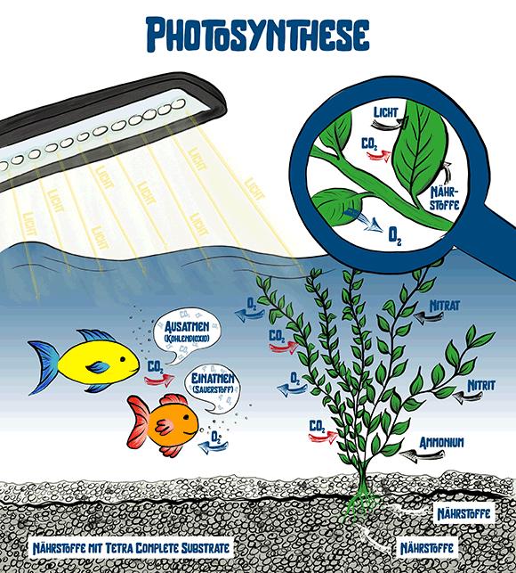 Infografik Photosynthese